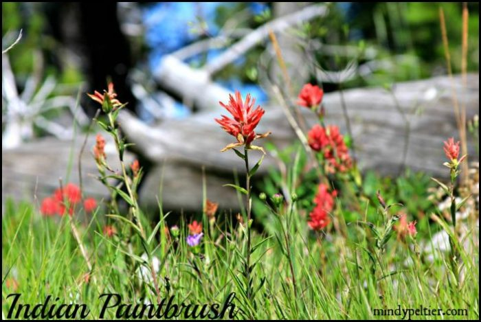 Indian Paintbrush in Montana @MindyJPeltier